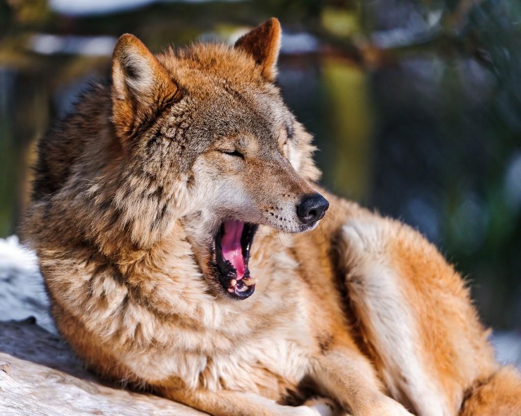yawning wolf